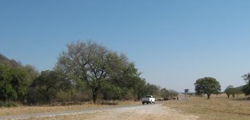 Cattle grazing enroute to Rundu