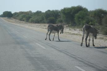Donkeys crossing the road.